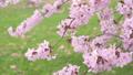 満開の桜(フィクス撮影) 42557933