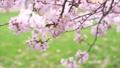 満開の桜(フィクス撮影) 42557934