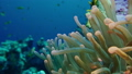 Egypt, diving the Red sea, Anemone fish with anemone 42580099