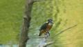 연못의 고목에 머무는 물총새 유조의 표정 42638690