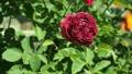 Claret red rose swings in the wind in rosarium 42643829