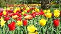 春天背景材料鬱金香花在風中晃動28秒修復·水平位置沒有聲音 42699225