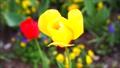 春天背景材料·黃色鬱金香花在風中搖曳一個輪子8秒固定·水平位置沒有聲音 42699226