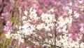 櫻桃背景材料·特有的日本花的清潔和優雅的ryokugaku⒒⒒秒修復·······___ _ 42699324