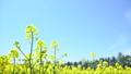 一邊強姦花朵(北海道安平平拍攝) 42736293