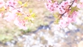 Kawazu樱花和水面上的鳞片 42737278