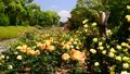 広見公園のバラと富士山-6047889 42740210