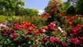 広見公園のバラと富士山-6047901 42740212