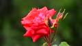 薔薇-6048102 42740230