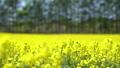 일면의 유채 꽃 (홋카이도 안평 초점 이동) 42744654