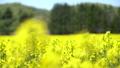 일면의 유채 꽃 (홋카이도 안평 빵 촬영) 42744656