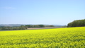 일면의 유채 꽃 (홋카이도 안평 빵 촬영) 42744888