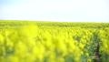 일면의 유채 꽃 (홋카이도 안평 빵 촬영) 42745713