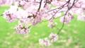 ดอกซากุระบาน,ซากุระบาน,ดอกไม้ 42758348