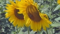 Close up view on two sunflower heads growing in 42795375