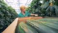 cucumbers, worker, vegetables 42795806
