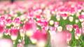 ทิวลิป,ดอกไม้,ทุ่งดอกไม้ 42838278