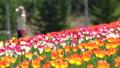 ทิวลิป,ดอกไม้,ทุ่งดอกไม้ 42838279