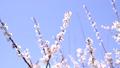 ลูกท้อ,บ๊วย,ดอกไม้ 42838795