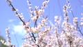 ลูกท้อ,บ๊วย,ดอกไม้ 42838796