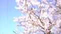 ลูกท้อ,บ๊วย,ดอกไม้ 42838801