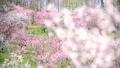 ดอกไม้,ลูกท้อ,บ๊วย 42838803