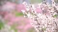 ลูกท้อ,บ๊วย,ดอกไม้ 42838805