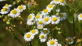 Wild chamomile flowers 42997474