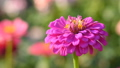 Pink flower of zinnia in garden 42997475