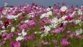 美麗的波斯菊在盛開,自然秋天風景開花 43000757