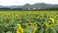 해바라기 밭과 리조트 시라 카미 43009297