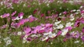 群生する美しいコスモスの花畑 43012464