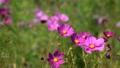 桃紅色波斯菊開花的自然風景 43015383