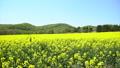一邊強姦花朵(北海道安平平拍攝) 43019246