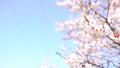 매화 (매화 팬 촬영) 43019270