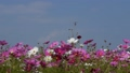A dragonfly that will stop at cosmos in full bloom, blue sky, autumn landscape 43091109