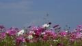 將停止在盛開,藍天,秋天風景的波斯菊的蜻蜓 43091109