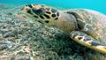 Sea turtle on coral reef 43097536