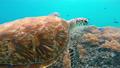 Sea turtle on coral reef 43097537