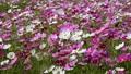 美麗的波斯菊花園,波斯菊在盛開,秋天風景在日本開花 43099029