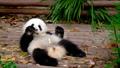 Giant panda bear eating bamboo 43133419
