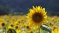 布引風の高原のヒマワリ(郡山市・湖南町) 43183032