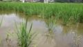 ジャンボタニシに稲を食い荒らされた田んぼ 43201007