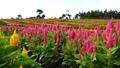 ケイトウの花畑 那須 43203316