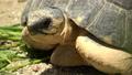 野猪龟,马达加斯加木匠/辐射的乌龟 43249793
