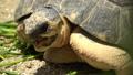 野猪龟,马达加斯加木匠/辐射的乌龟 43249794