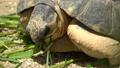 野猪龟,马达加斯加木匠/辐射的乌龟 43249795
