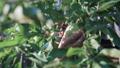 りんごの木 リンゴの木 林檎の木の動画 43270117