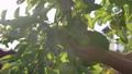 りんごの木 リンゴの木 林檎の木の動画 43270118