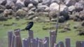 Little cormorant bird standing on dried bamboo 43298052